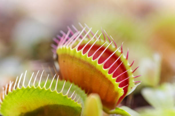 Venus Flytrap Plants to capture insects carnivorous stock pictures, royalty-free photos & images