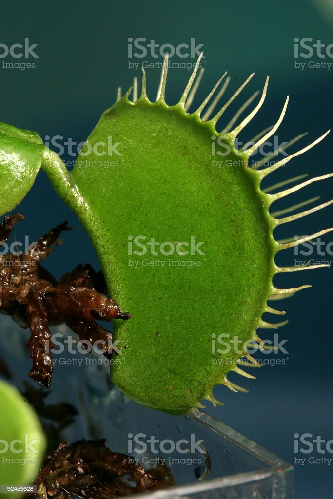 Venus Flytrap stock photo