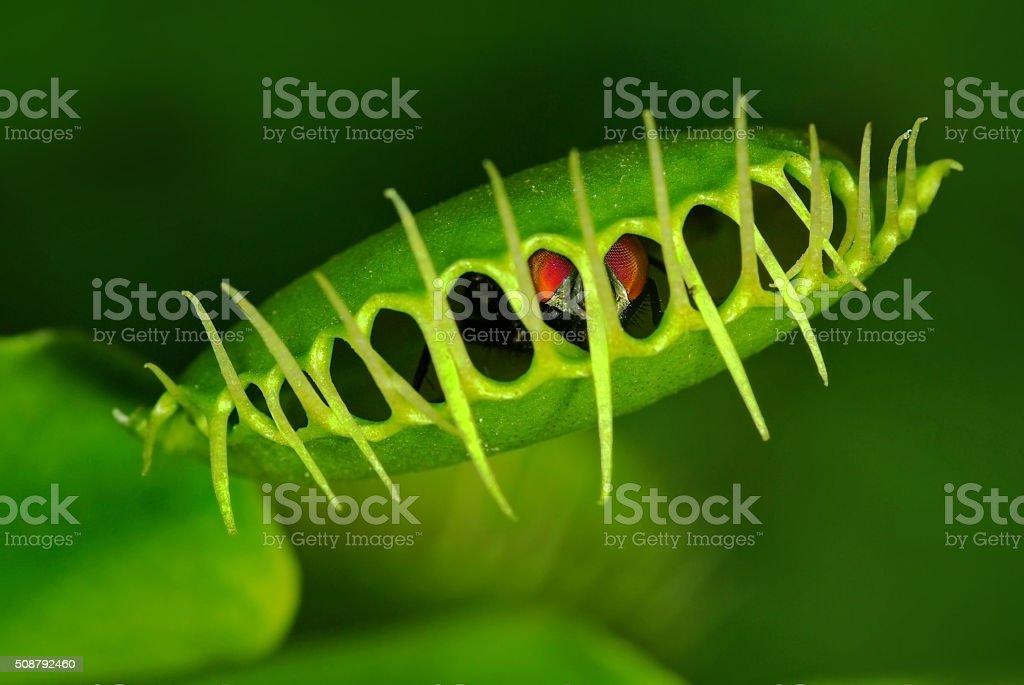 Venus flytrap (Dionaea muscipula) with trapped fly Green Fly caught by Venus flytrap (Dionaea muscipula) Ambush Stock Photo