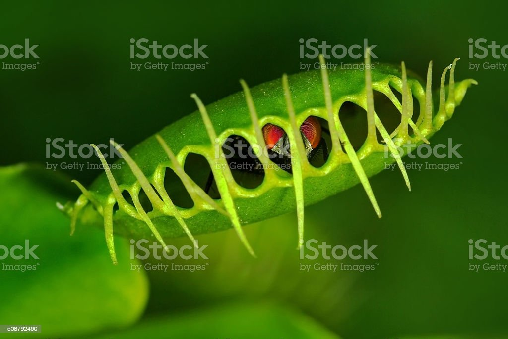 Venus flytrap (Dionaea muscipula) with trapped fly stock photo