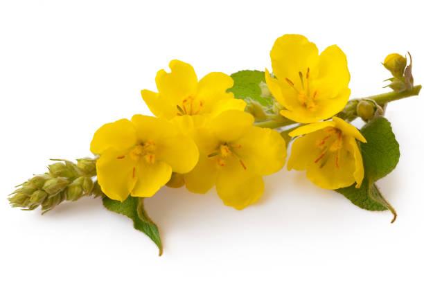 Verbascum, gemeenschappelijke toorts bloem geïsoleerd op witte achtergrond. Medicinale plant, alternatieve geneeskunde foto