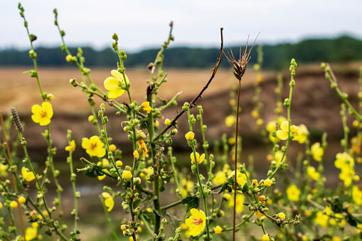 Verbascum sinuatum flowers and buds on a natural blurred field background