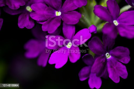 Delicate Verbena Blossoms