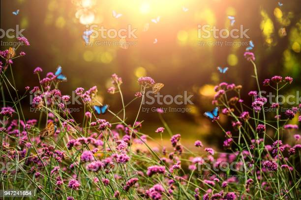 Verbena bonariensis and butterflies picture id947241654?b=1&k=6&m=947241654&s=612x612&h=mo212eiz3derrku8hzjvraac7a7ssynv2kf ssfoh5a=