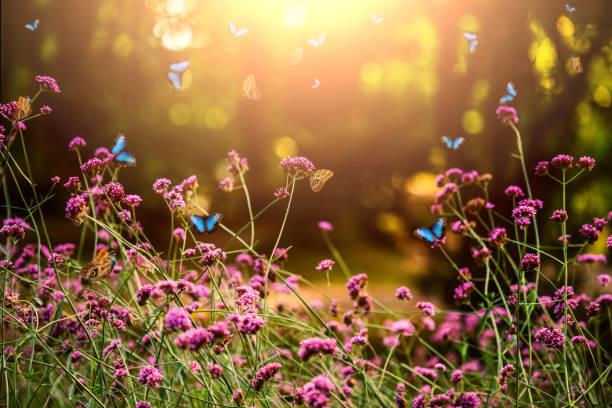 Verbena bonariensis and butterflies picture id947241654?b=1&k=6&m=947241654&s=612x612&w=0&h=xvkj8g z7o1cg7r798c7ztxtqjt4mnwrzz4l 4zfnvw=
