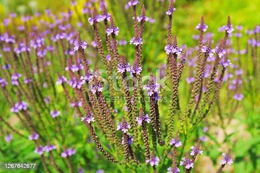 Verbena hastata flowers with bee - 'Lanzen-Eisenkraut'