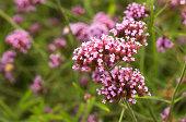 istock Verbena officinalis, a medicinal plant growing in its natural habitat 1273082877