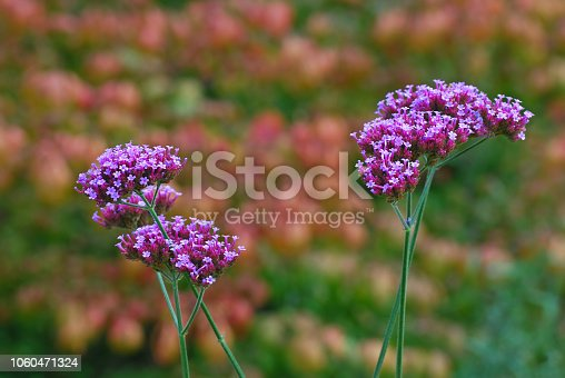 Verbena officinalis growing in an ornamental garden , It contains a cluster of small flowers.
