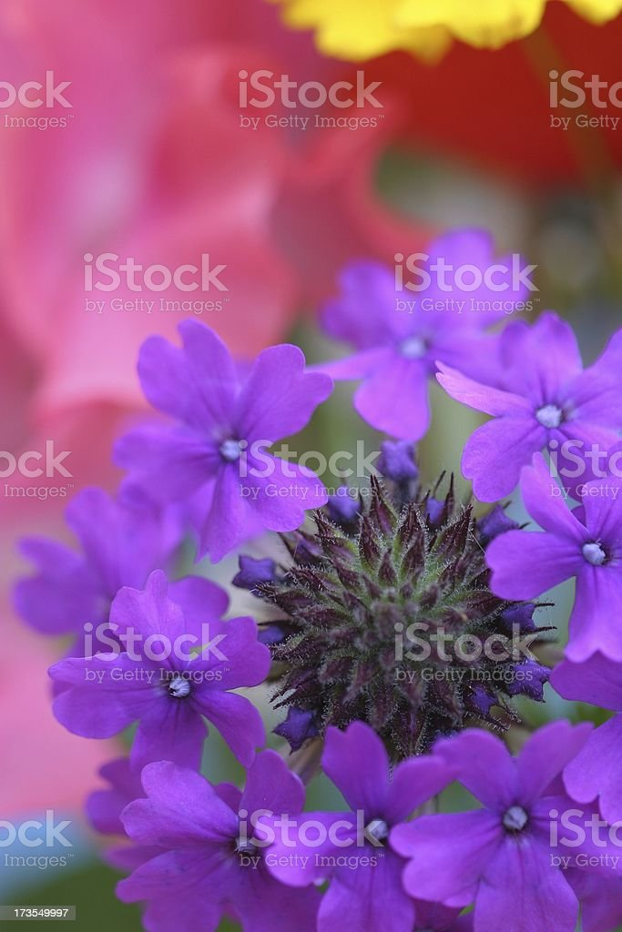 Verbena vision stock photo