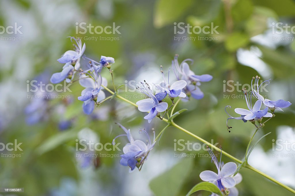 Verbenaceae Clerodedron ugadanse royalty-free stock photo