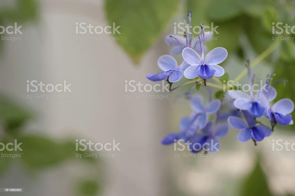 Verbenaceae Clerodedron ugadanse royalty-free stock photo