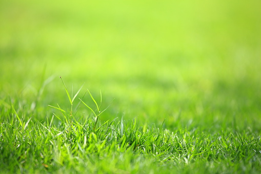 On the verdant lawn, there is a very small spider climbed up the grass blades.