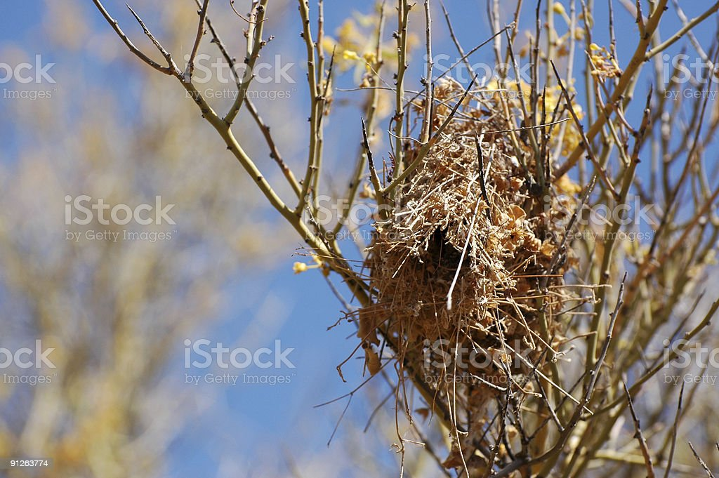 verdin nest royalty-free stock photo