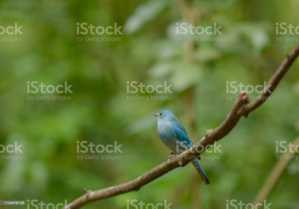 Verditer Flycatcher , Blue bird, Beautiful bird in Thailand.