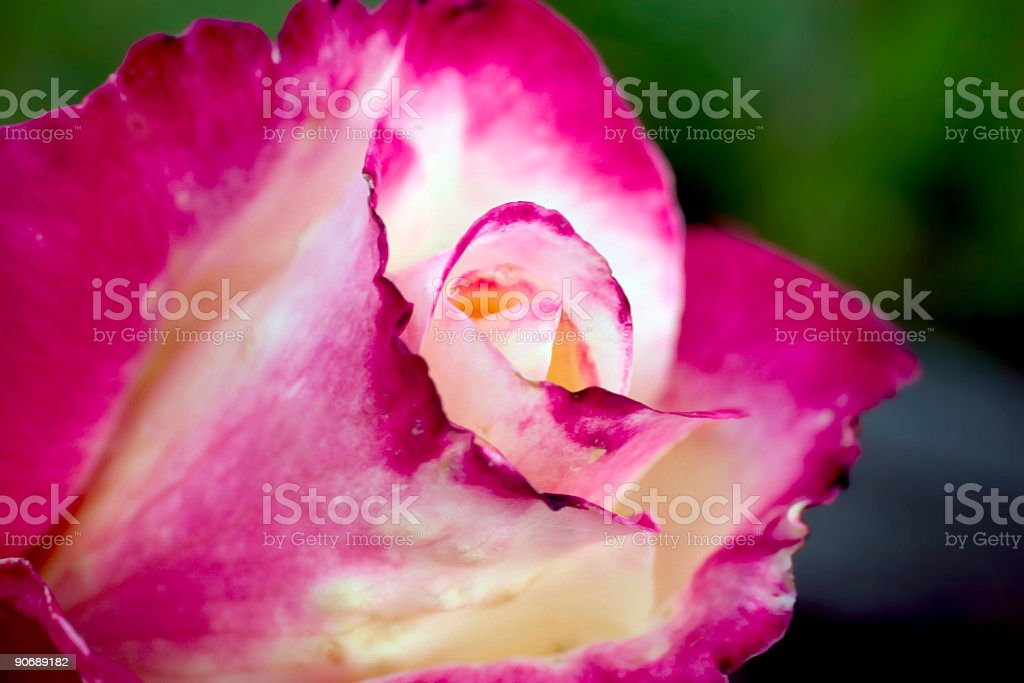 Verigated Rose royalty-free stock photo