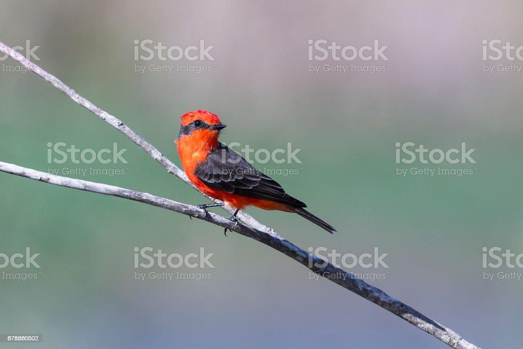 Vermilion flycatcher, pyrocephalus rubinus, beautiful small red bird perching, male stock photo