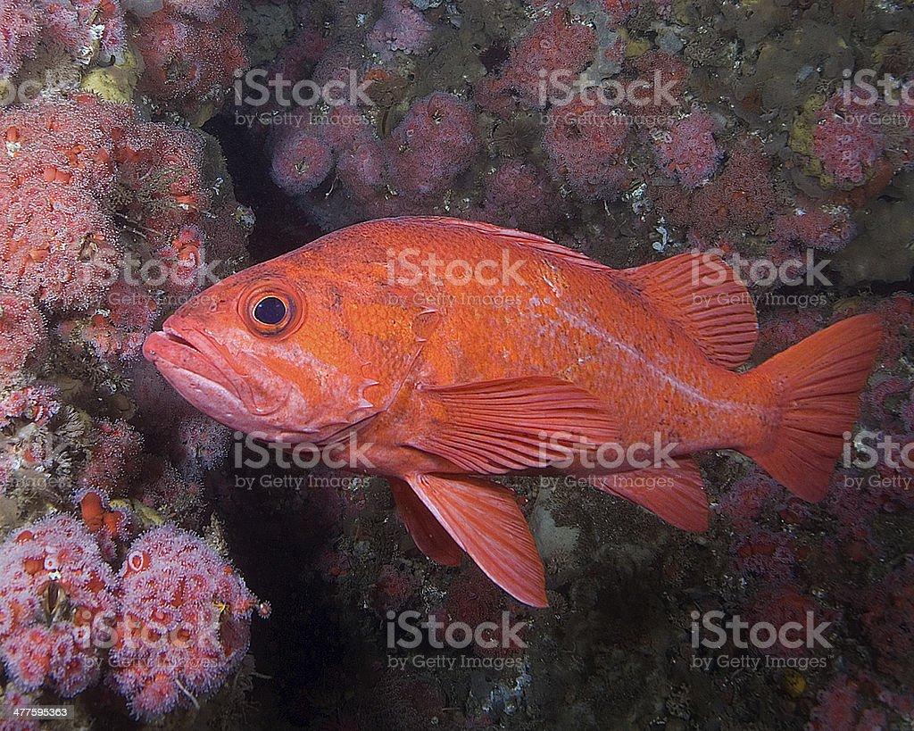 Vermillion Rock fish stock photo