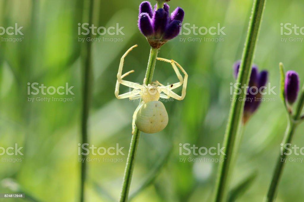Veränderliche Krabbenspinne stock photo