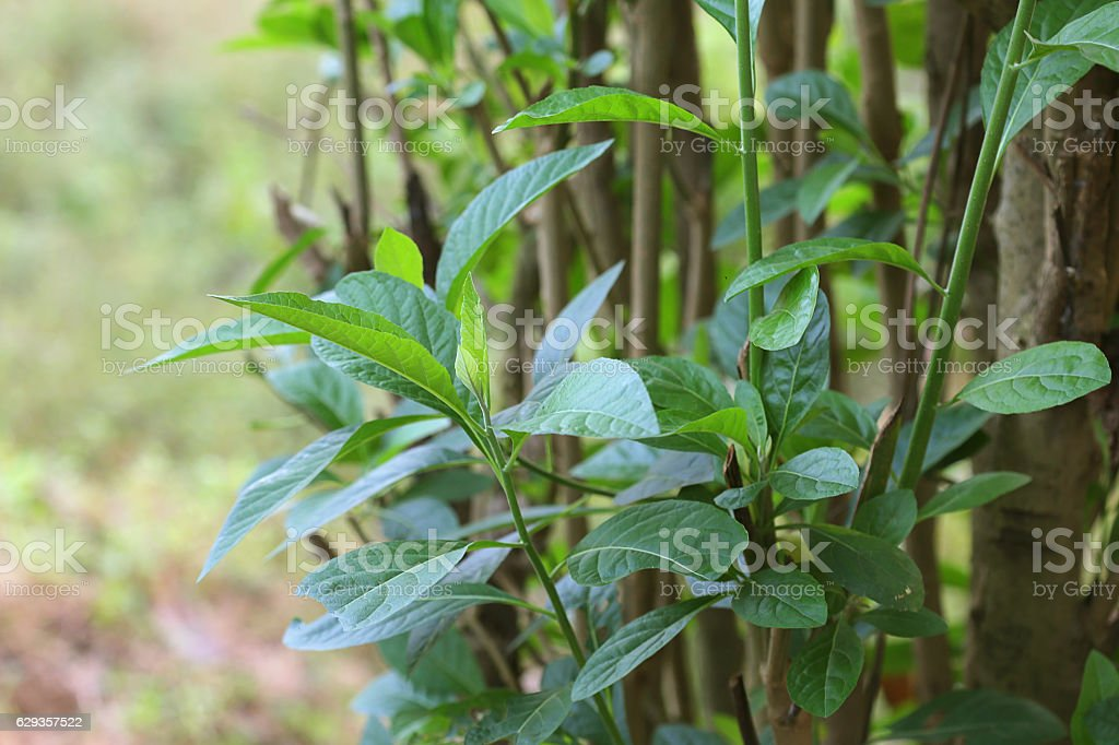 Vernonia Amygdalina (Bitter leaf) stock photo