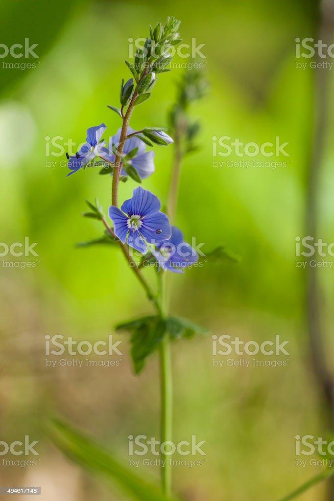 Veronica chamaedrys stock photo