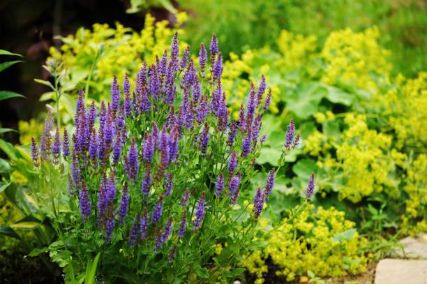 veronica spikelet planted in mixed border with alchemilla mollis in summer garden - przywrotnik zdjęcia i obrazy z banku zdjęć