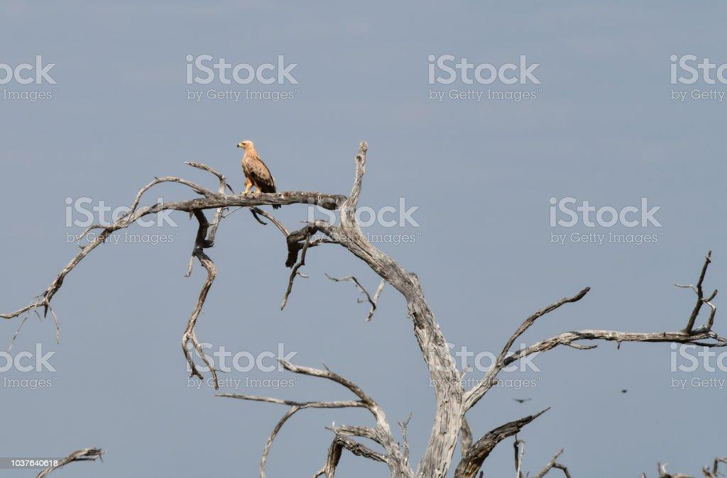 Propithecus Eagle - foto de acervo