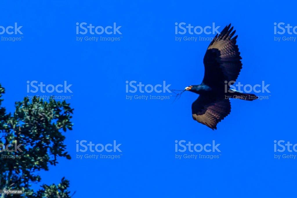Águia do Verreaux, ou águia negra africana - foto de acervo