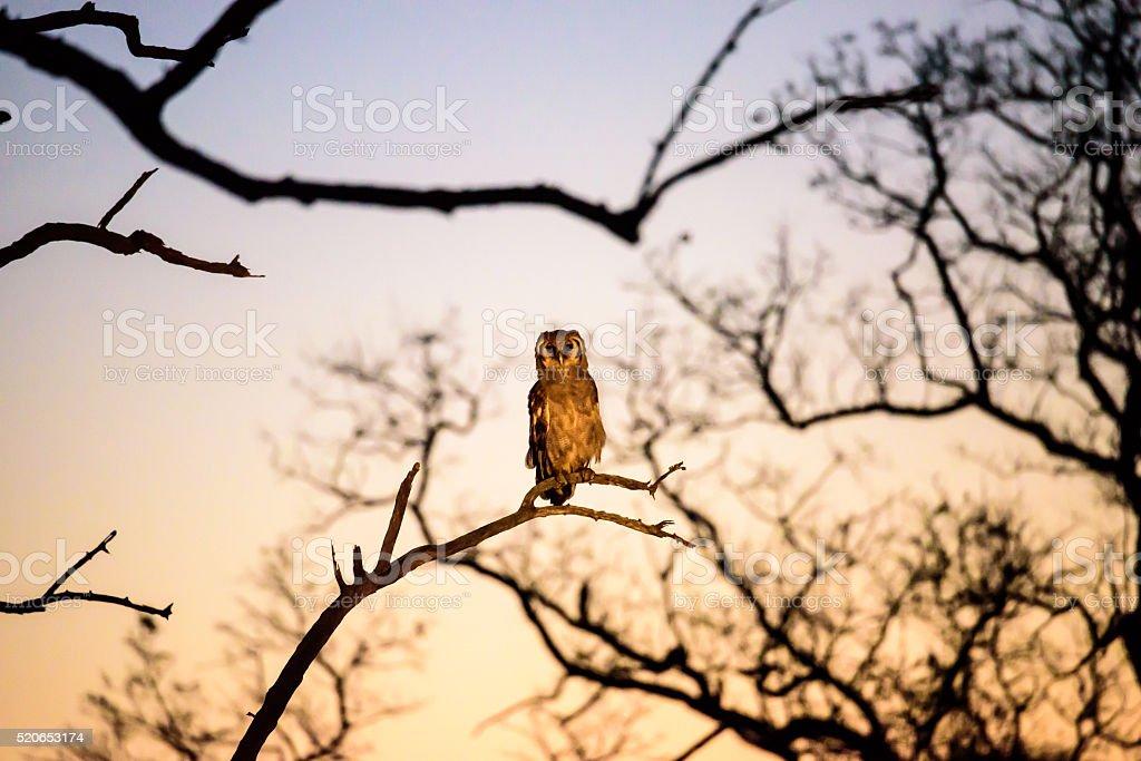Verreaux's Eagle Owl at dusk stock photo