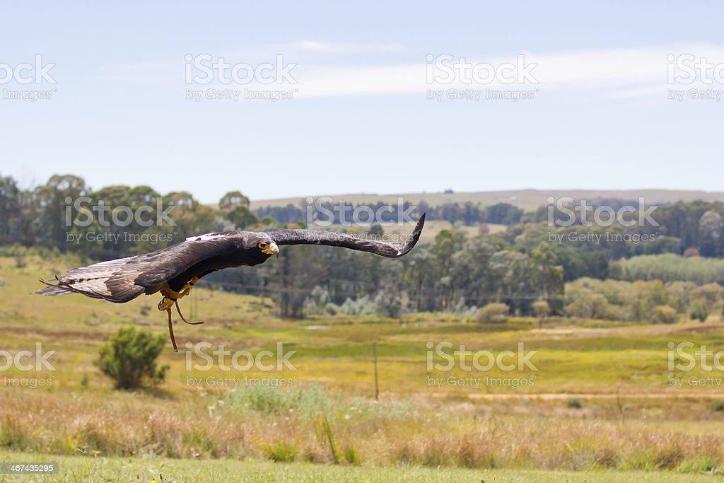 Propithecus de eagle - foto de acervo