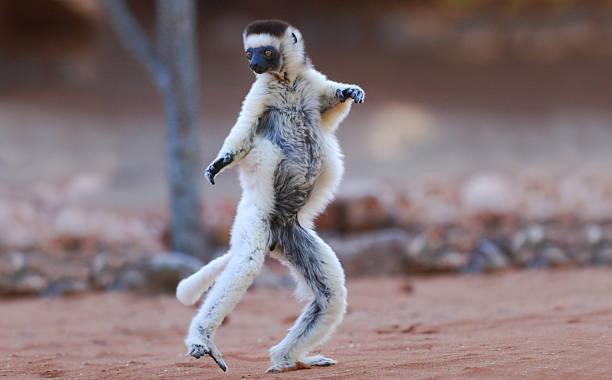 Verreaux's Sifaka (Propithecus verreauxi) dancing in Madagascar stock photo