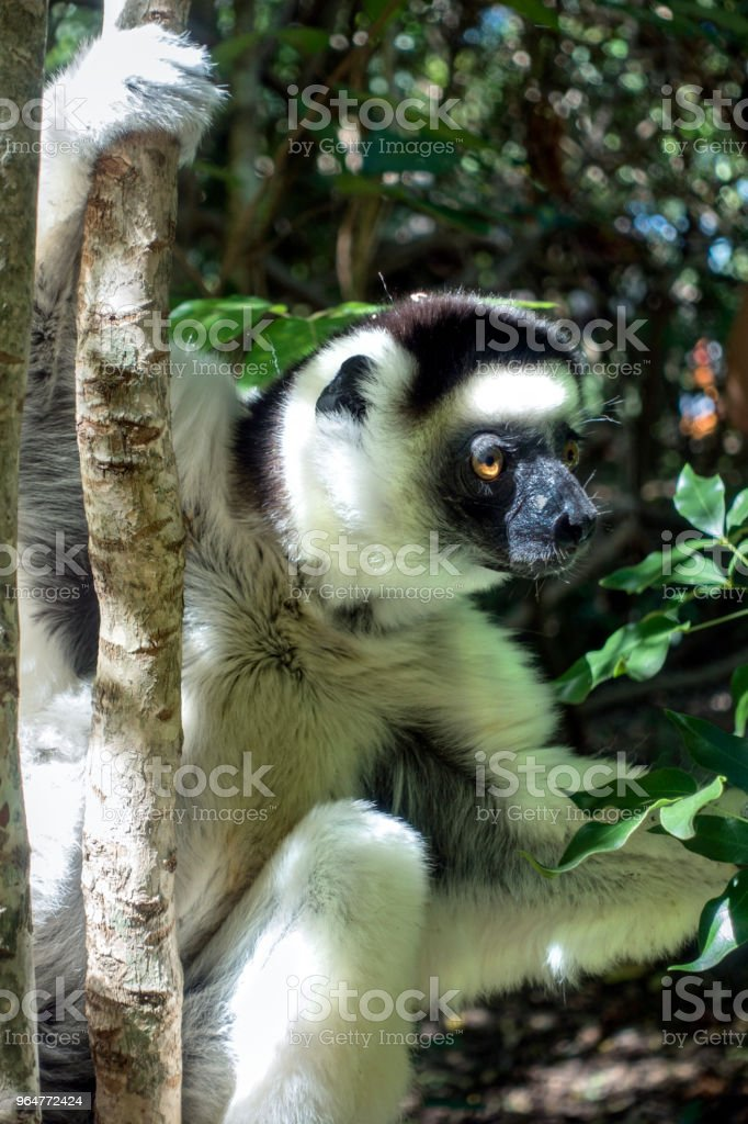 Verreaux's sifaka, lemur, Berenty Reserve, southern Madagascar royalty-free stock photo