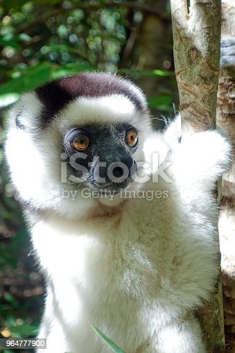 Verreauxs Sifaka Lemur Berenty Reserve Southern Madagascar Stock Photo & More Pictures of Endangered Species