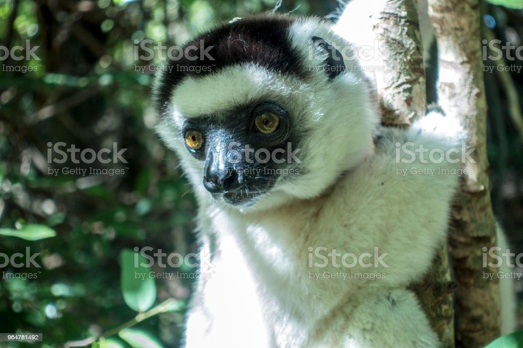 Verreaux's sifaka, lemur, Berenty Reserve, southern Madagascar royalty-free stock photo