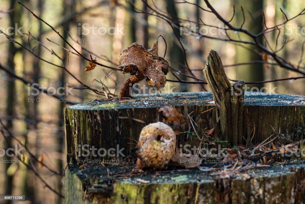 Verrottende Pilze auf einem Baumstumpf stock photo