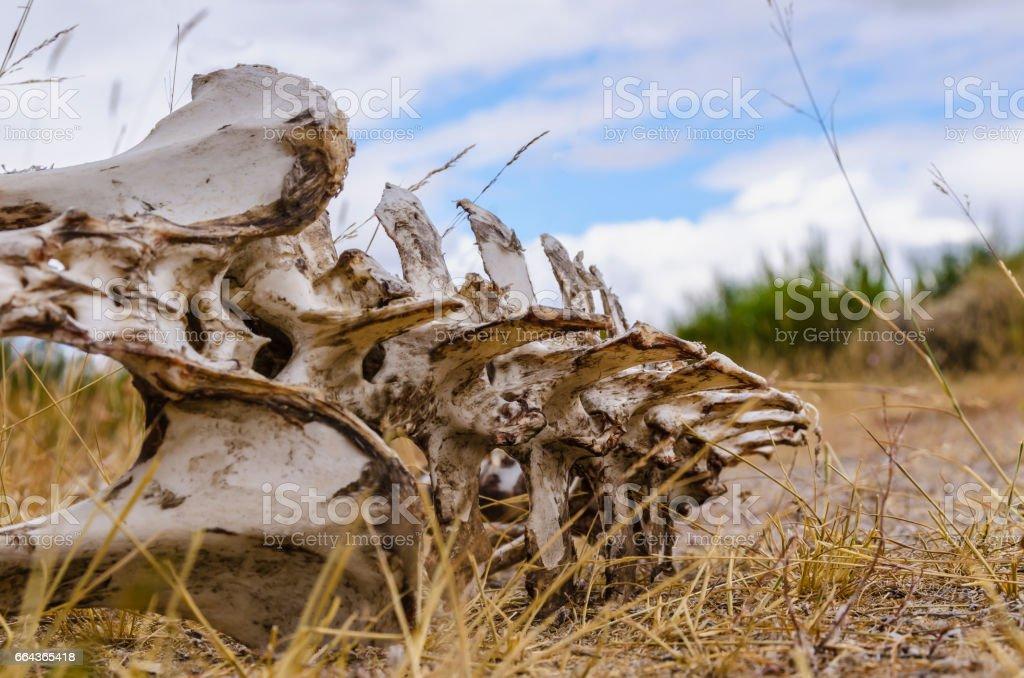 Vertebrate bones stock photo