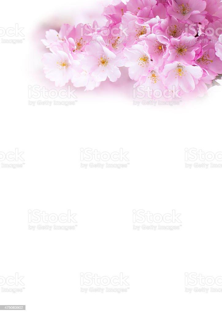 Sfondo Verticale Con Bella Rosa Fiore Di Ciliegio E Sakura Fiori Su