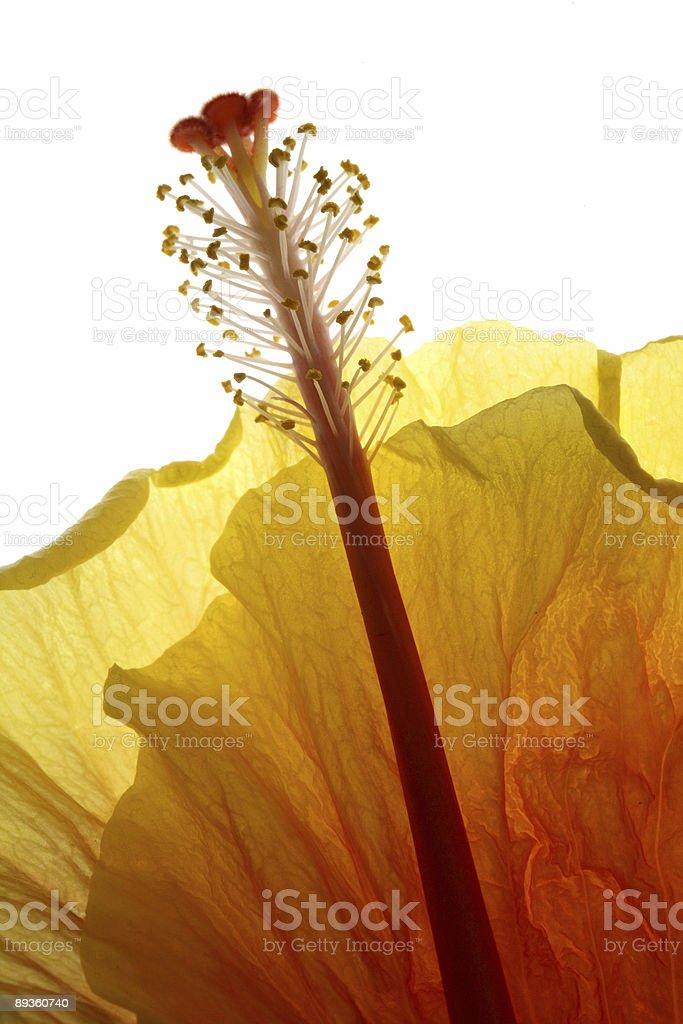 Verticale retroilluminazione fiori foto stock royalty-free