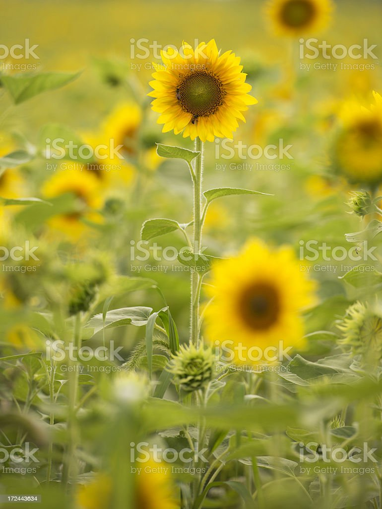 Vertical backlit sunflower with bees royalty-free stock photo