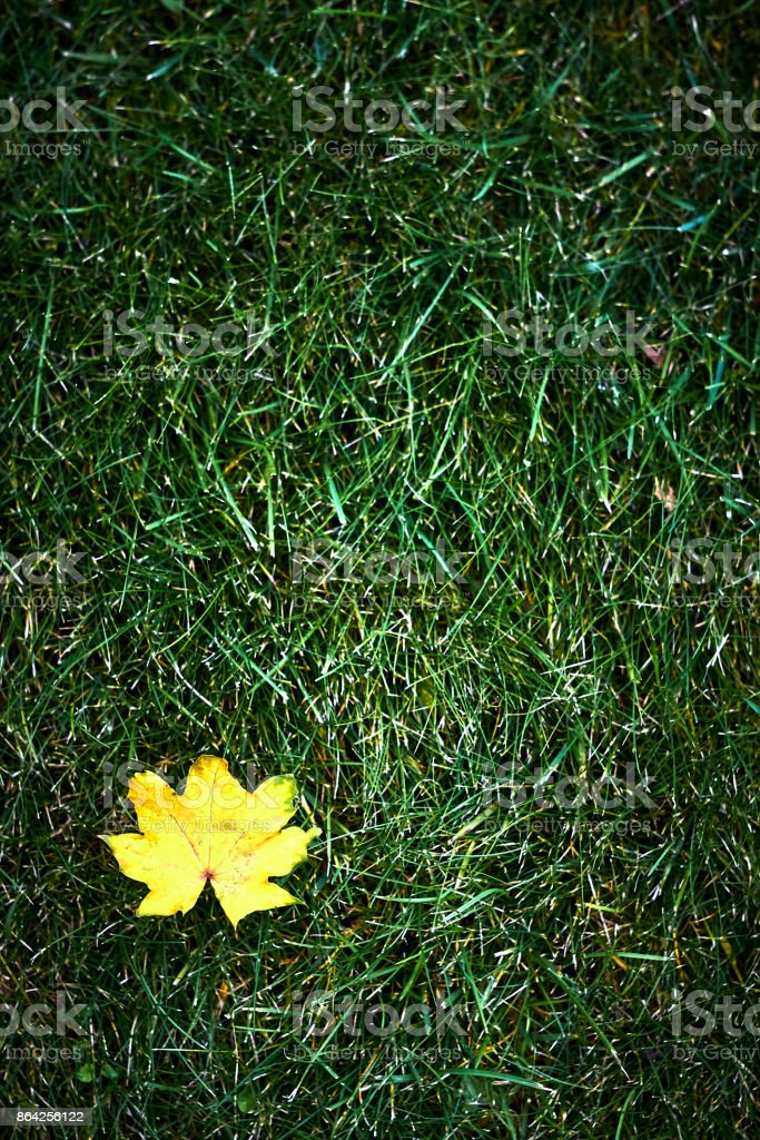 vertical Canadian maple Acer yellow leaf on autumn lawn royalty-free stock photo