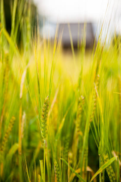 Vertical close-up of ears of barley in the field stock photo