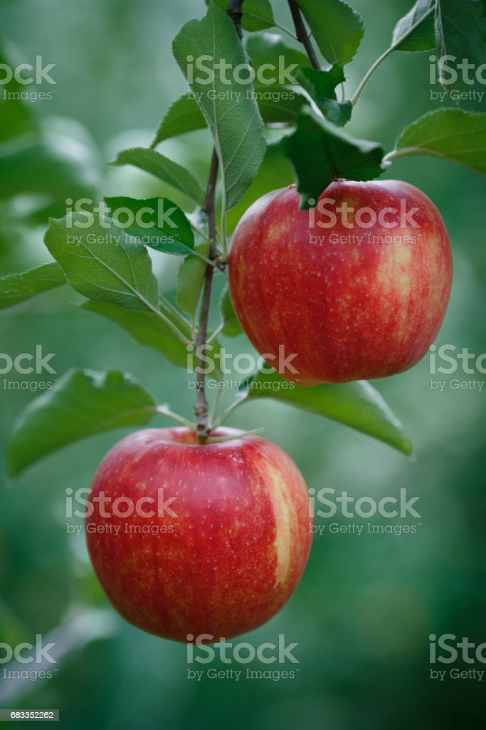 Vertical closeup shot of a branch with fresh red apples stock photo