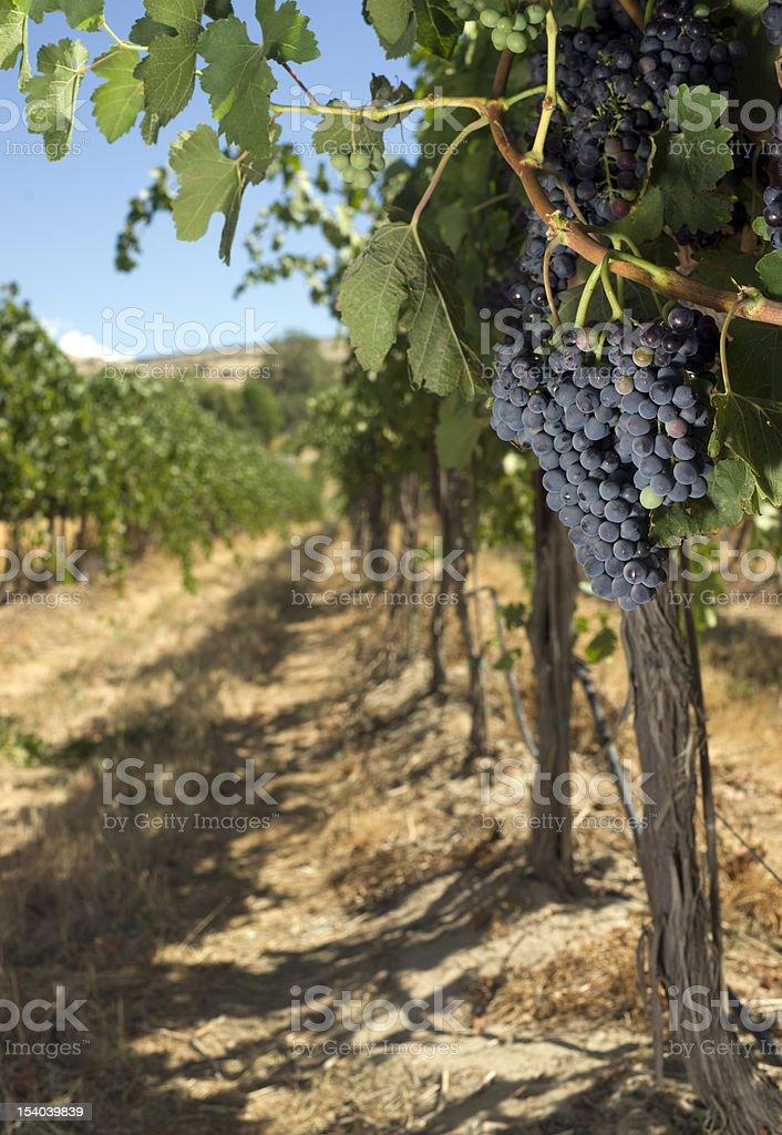 Vertical Fruit Grapes Still on the Vine in Vineyard stock photo