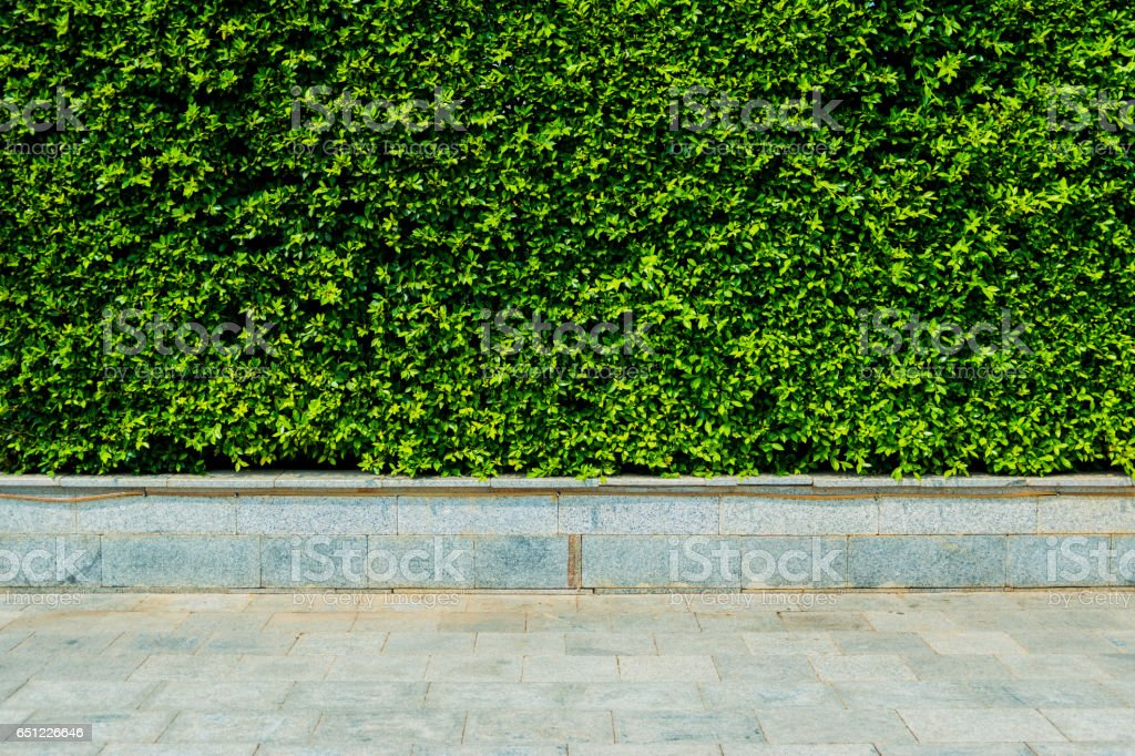 Vertical garden green leaves wall or tree fence behide the road for background. stock photo