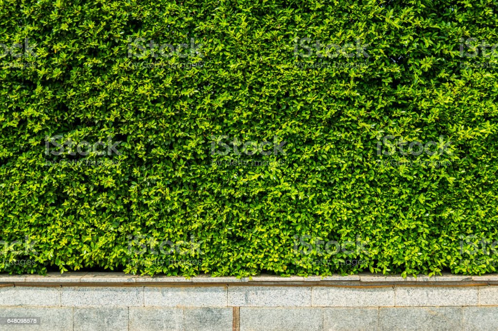 Vertical garden green leaves wall or tree fence for background. stock photo