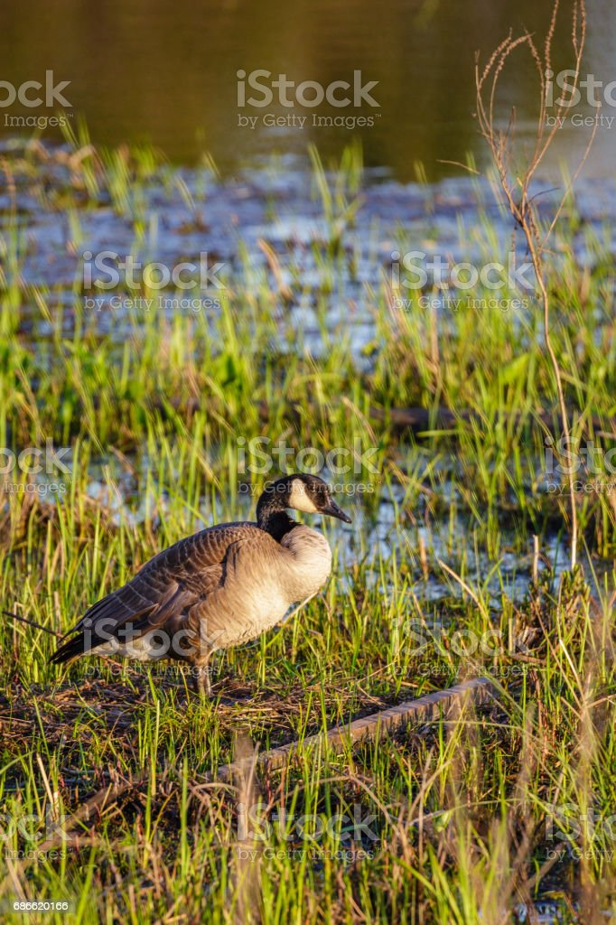Vertical image of a Canada goose (branta canadensis) standing on her nest in a Wisconsin marsh royalty-free stock photo