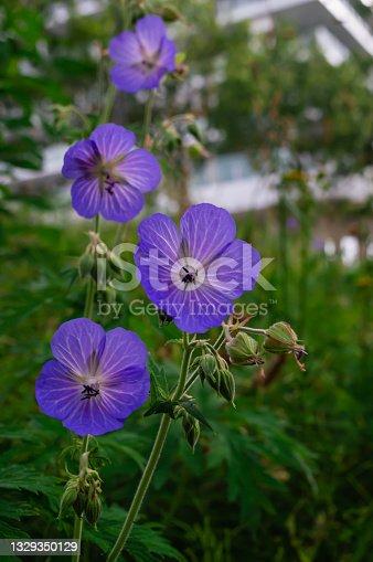 istock Vertical image of a meadow geranium 1329350129