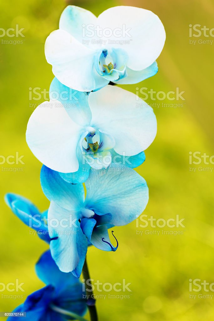 Vertical  image of a pretty dyed blue orchid foto de stock royalty-free