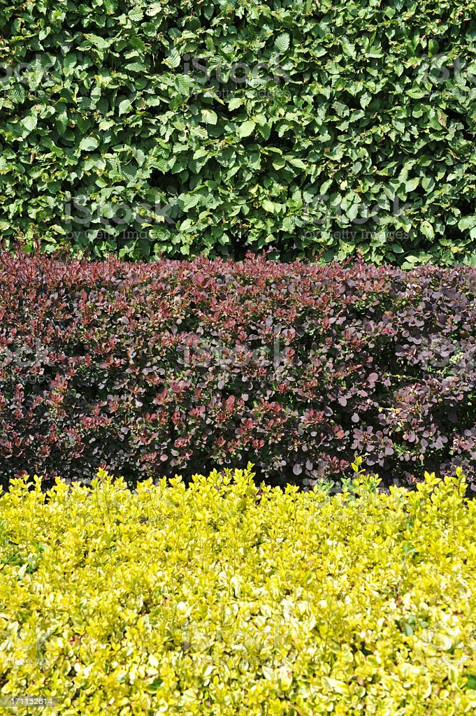 Vertical image of hornbeam,berberis and golden privet hedges. stock photo