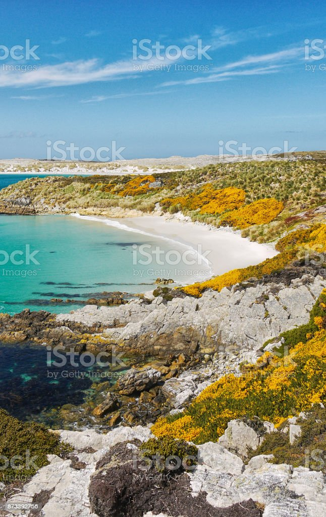 Vertical image of the rocky coastline, yellow gorse flowers and beautiful white sand beach and turquoise water of Gypsy Cove, East Falkland Island, Falkland Islands (islas malvinas) stock photo