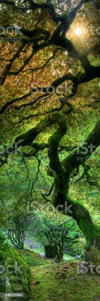 Vertical Japanese Maple with Sun Burst royalty-free stock photo